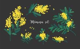 La raccolta della mimosa si ramifica con i fiori o inflorescenze e foglie gialli di fioritura isolati su fondo nero royalty illustrazione gratis