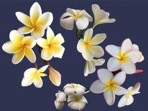 La raccolta della plumeria bianca di fioritura fiorisce su fondo blu Fotografia Stock Libera da Diritti