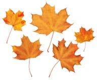 la raccolta delle foglie di autunno dell'acero, oggetto ha messo su bianco Immagini Stock