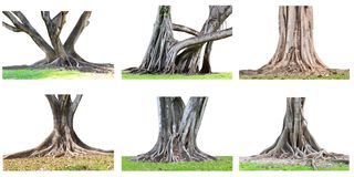 La raccolta di grandi radici dell'albero che spargono fuori bello e tru fotografie stock libere da diritti