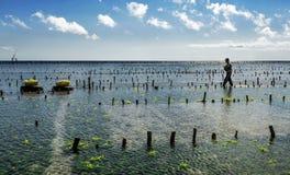 La raccolta indonesiana dell'agricoltore coltiva le alghe in un canestro dalla sua azienda agricola del mare, Nusa Penida, Indone Fotografia Stock Libera da Diritti