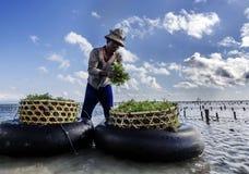 La raccolta indonesiana dell'agricoltore coltiva le alghe in un canestro dalla sua azienda agricola del mare, Nusa Penida, Indone Fotografie Stock