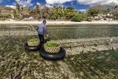 La raccolta indonesiana dell'agricoltore coltiva le alghe in un canestro dalla sua azienda agricola del mare, Nusa Penida, Indone Fotografia Stock