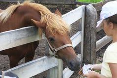 La race d'Altai du cheval mange Images libres de droits