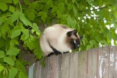 La race de chat siamois se repose sur la barrière Photo stock