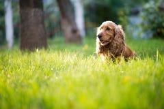 La race de chien d'épagneul est dans l'herbe sous la lumière du soleil Photos stock