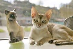 La race de Singapura du chat, avouée par le gouvernement de Singapour être un monument national vivant Image libre de droits