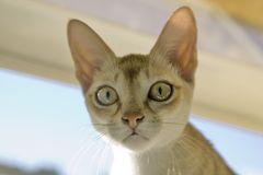 La race de Singapura du chat, avouée par le gouvernement de Singapour être un monument national vivant Photos stock