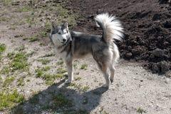 La race du chien de traîneau Photo libre de droits