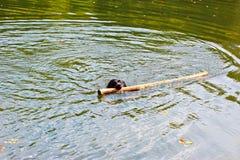 La race Labrador de chien nage sur le lac Image libre de droits