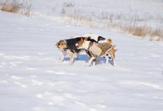 La race mélangée noire et blanche poursuit le chien de basenji d'attaques Images libres de droits
