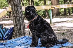 La race noire russe de chien de Terrier, burebred photos libres de droits