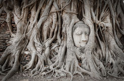 La racine couvre la tête de la statue de Bouddha Photo stock