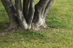 La racine de l'arbre dans l'herbe verte Élevage, la vie Image libre de droits