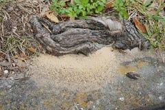 La racine du nid et de l'arbre de la fourmi Photographie stock libre de droits