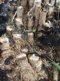 la racine en bambou était brûlure photo stock