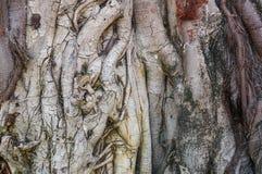 La radice dell'albero delle pagode Fotografie Stock