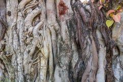 La radice dell'albero delle pagode Fotografia Stock