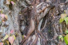 La radice dell'albero delle pagode Immagini Stock Libere da Diritti