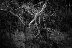 La radice dell'albero sta correndo Immagine Stock Libera da Diritti