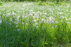 La radura ha coperto l'erba ed i denti di leone di teste lanuginose del seme Fotografia Stock