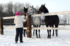 La ragazza alimenta i cavalli immagini stock