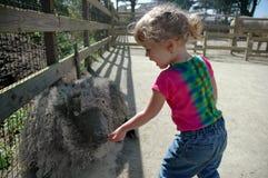 La ragazza alimenta le pecore Immagini Stock Libere da Diritti