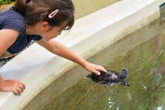 La ragazza del bambino alimenta una tartaruga di mare di Hawksbill in Figi Immagine Stock