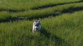 La ragazza graziosa gioca con un cane sull'erba tramite il movimento lento felice del cane di sorriso di emozioni dell'amico degl video d archivio