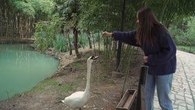 La ragazza in maglione alimenta ad un bello throuhg bianco del cigno il recinto archivi video