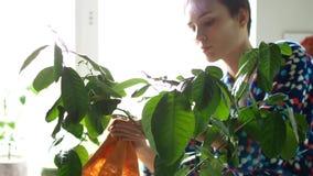 La ragazza pulisce la polvere dalle foglie della pianta da appartamento video d archivio