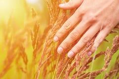 La ragazza segna i coni del campo delle piante Il concetto di unità con la natura e di preoccuparsi per il mondo, luce solare immagini stock
