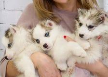 La ragazza sta tenendo primo piano bianco di tre un bello cuccioli husky Fotografia Stock