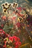 La ragnatela è sul cardo selvatico asciutto Estate fotografie stock