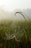 La ragnatela rugiadosa ha sospeso sulle teste del seme dell'erba su una mattina nebbiosa Immagini Stock Libere da Diritti