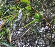 La ragnatela sta appendendo sulle foglie di bambù fotografia stock