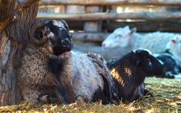 La ram e le pecore Ritratto piacevole delle pecore della ram Immagini Stock