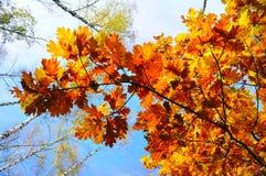 La rama con el roble amarillo del otoño se va en un bosque Foto de archivo
