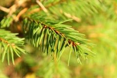 La rama con las agujas en día soleado Fotografía de archivo libre de regalías