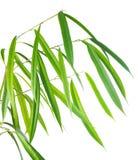 la rama con las hojas largas verdes se aísla en el backgroun blanco Foto de archivo libre de regalías