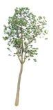 La rama de árbol Fotos de archivo libres de regalías