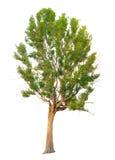 La rama de árbol Foto de archivo libre de regalías