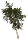 La rama de árbol Foto de archivo