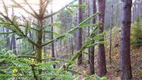 La rama de árbol de abeto se sacude en salida del sol almacen de metraje de vídeo