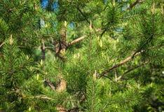 La rama de árbol de pino Foto de archivo