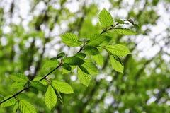 La rama de árbol sobre verde borroso sale del fondo Fotografía de archivo