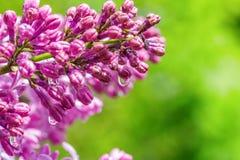 La rama de la lila en lluvia cae en un día soleado en un primer verde claro del fondo Fotografía de archivo libre de regalías