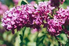 La rama de la lila florece con las hojas y la pequeña abeja Imagen de archivo