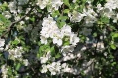 La rama de los flores de Apple Imagen de archivo libre de regalías