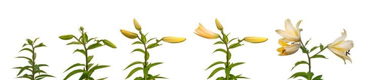La rama de los OT-híbridos del Lilium del lirio con el brote que crece en germin Fotos de archivo